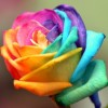 coloured-rose-1446326-m